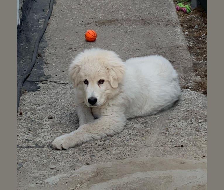 Photo of Casper, a Maremma Sheepdog  in Milton, Ontario, Canada