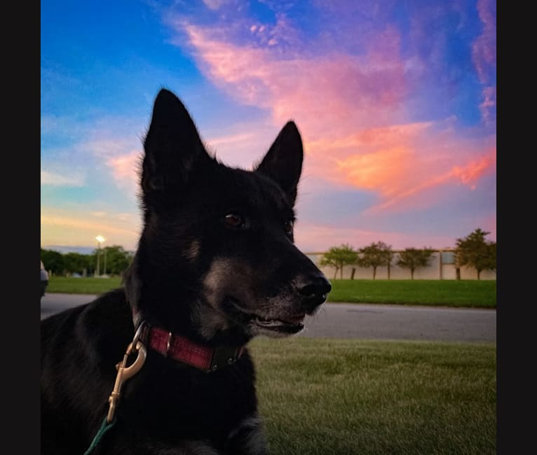 Photo of Laika, a Siberian Husky, Border Collie, and Australian Cattle Dog mix in Gower, MO, USA