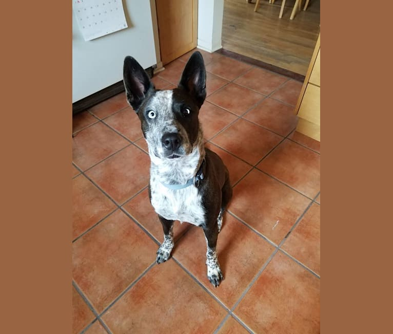 Photo of Luna, a Boxer, Australian Cattle Dog, Siberian Husky, and Mixed mix in Albuquerque, New Mexico, USA