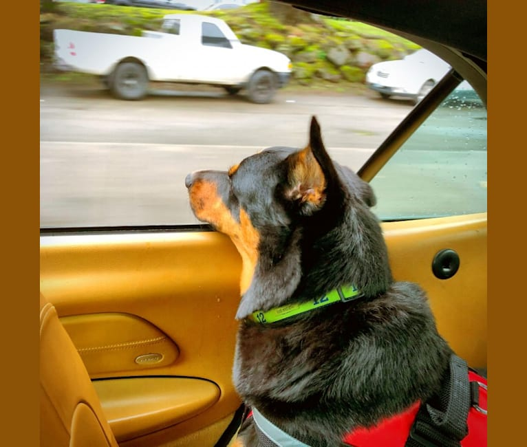 Photo of Bruno, a Rottweiler, Australian Cattle Dog, Chow Chow, Akita, and Mixed mix