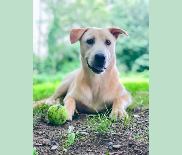 Photo of Ted, a Chow Chow, Boxer, German Shepherd Dog, Labrador Retriever, American Pit Bull Terrier, and Mixed mix in Mississippi, USA