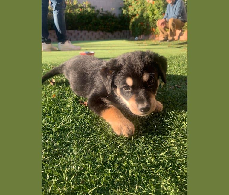 Photo of Miko, a Labrador Retriever, American English Coonhound, American Pit Bull Terrier, and German Shepherd Dog mix in Buckeye, Arizona, USA