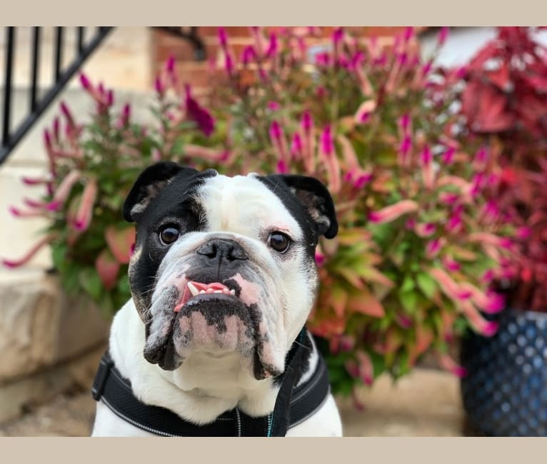 Photo of Oz, a Bulldog  in Baltimore, MD, USA
