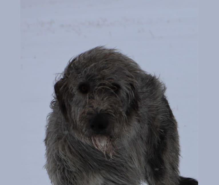 Photo of Wolfie, an Irish Wolfhound  in Alberta, Canada