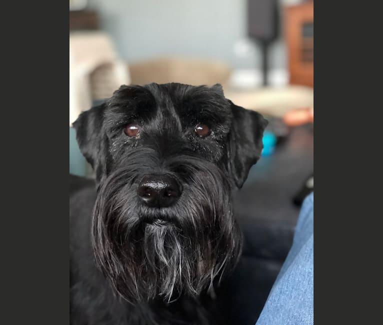 Photo of Monty, a Standard Schnauzer