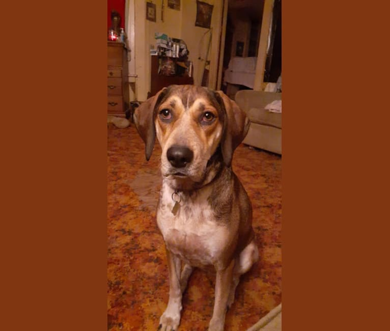 Photo of Lady Jane, a Mountain Cur and Bluetick Coonhound mix in Sebring, Ohio, USA