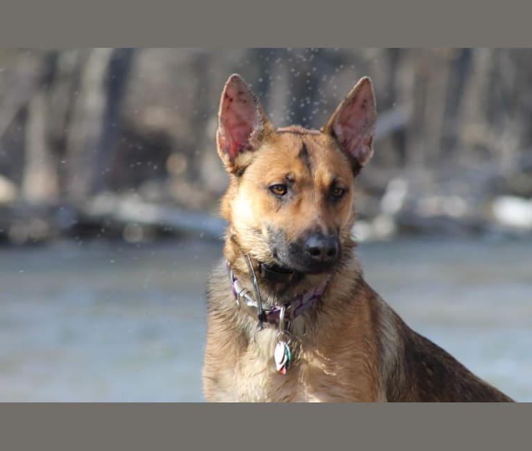 Photo of Annika, a Dutch Shepherd and Belgian Malinois mix in Big Lake, MN, USA