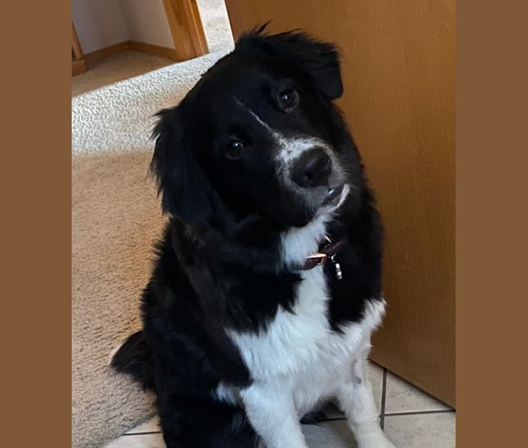 Photo of Lani, a Great Pyrenees, Australian Cattle Dog, Chow Chow, American Pit Bull Terrier, and Mixed mix in New Mexico, USA