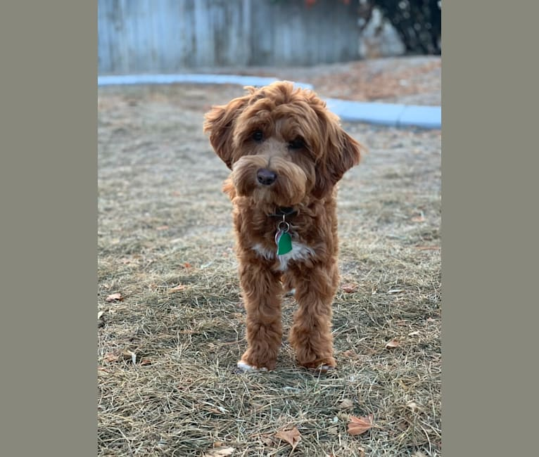 Photo of Cola, a Goldendoodle