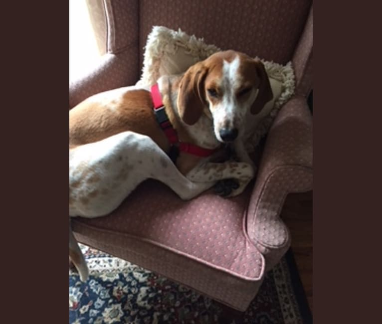Photo of Joey, an American English Coonhound  in South Carolina, USA