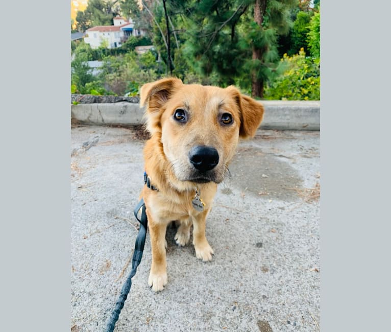 Photo of Ticket, an Australian Cattle Dog, American Pit Bull Terrier, Chow Chow, and Mixed mix in San Bernardino, California, USA