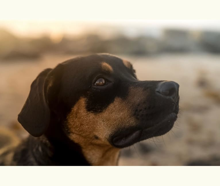 Photo of Lucas, a Rottweiler, American Pit Bull Terrier, German Shepherd Dog, and Mixed mix in Vieques, Vieques, Puerto Rico