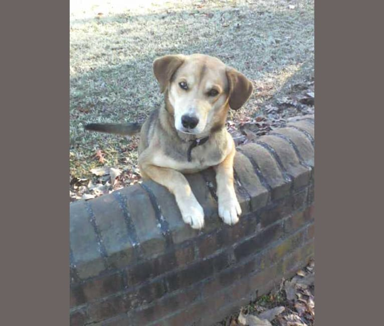 Photo of Gage, a Siberian Husky, Beagle, and American Foxhound mix in Dinwiddie, Virginia, USA