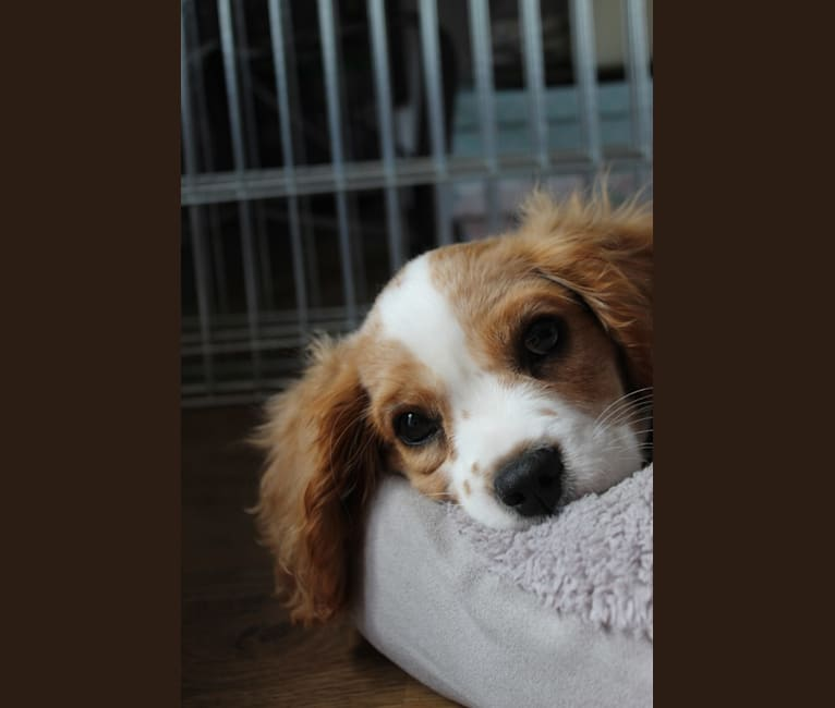 Photo of Apollo Riker Hughes, a Cavalier King Charles Spaniel  in Southport, UK