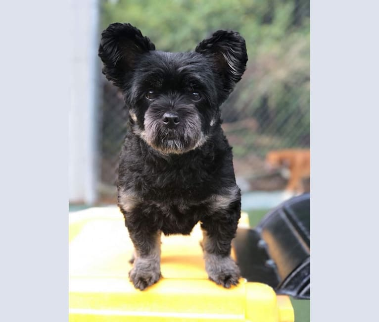 Photo of Lucy, a Pomeranian, Lhasa Apso, and Yorkshire Terrier mix in Jacksonville, North Carolina, USA