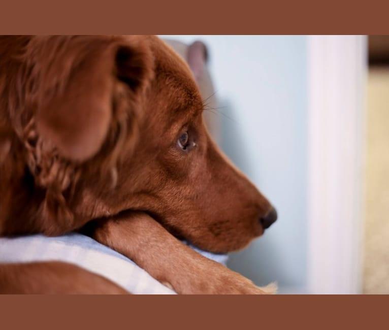 Photo of Lennon, a Doberman Pinscher, Golden Retriever, Australian Shepherd, Bluetick Coonhound, and Border Collie mix in West Valley City, Utah, USA
