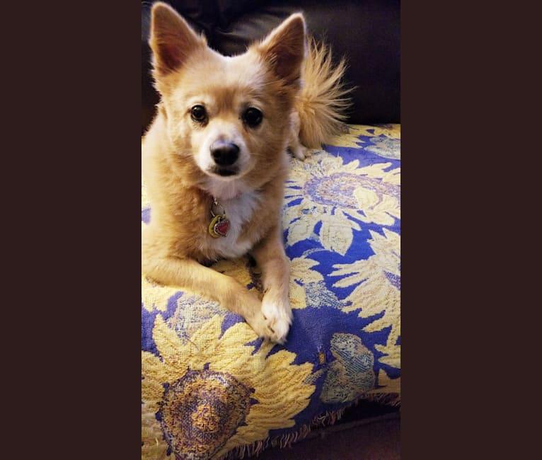 Photo of Piper, a Pomeranian, American Eskimo Dog, Australian Cattle Dog, and Mixed mix in Moncks Corner, South Carolina, USA