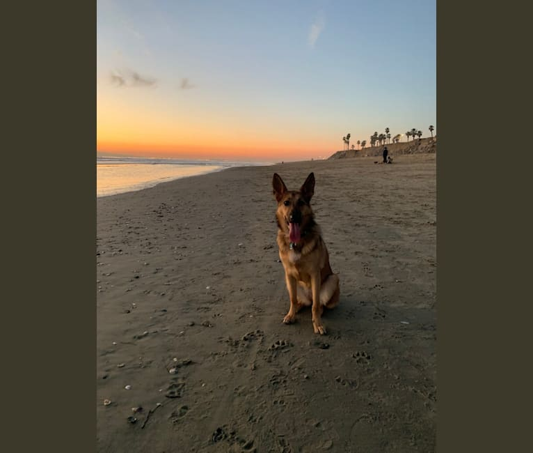 Photo of Finn, a German Shepherd Dog, Australian Cattle Dog, and Border Collie mix in Moreno Valley, CA, USA