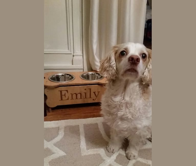 Photo of Emily, a Chihuahua and Cocker Spaniel mix in New York, New York, USA