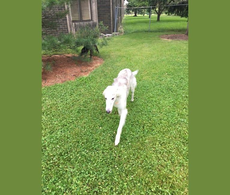 Photo of Kristull Jazzy Blue, a Silken Windhound  in Austin, TX, USA