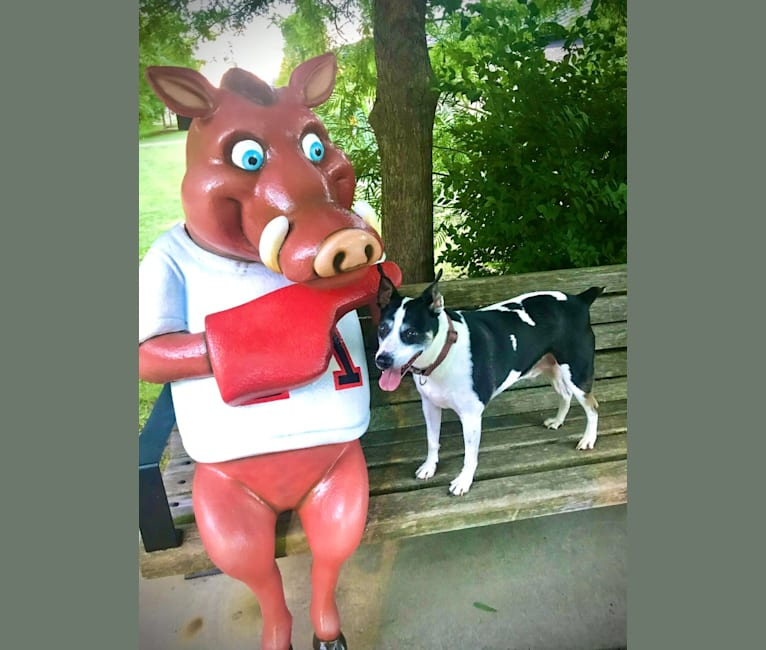 Photo of Maddie, an American Pit Bull Terrier and Rat Terrier mix in Fayetteville, Arkansas, USA
