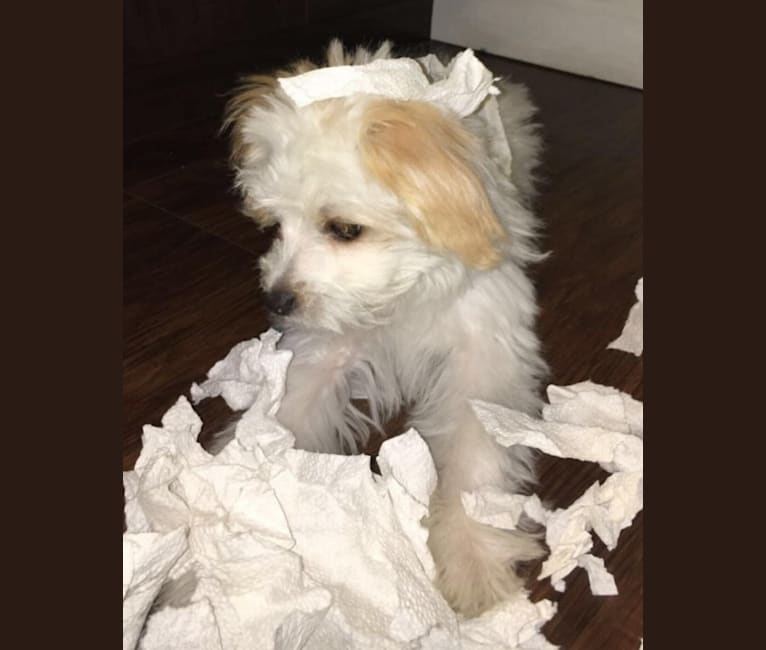 Photo of Morticia, a Poodle (Small), Chihuahua, Bichon Frise, Lhasa Apso, and Mixed mix in Phoenix, Arizona, USA