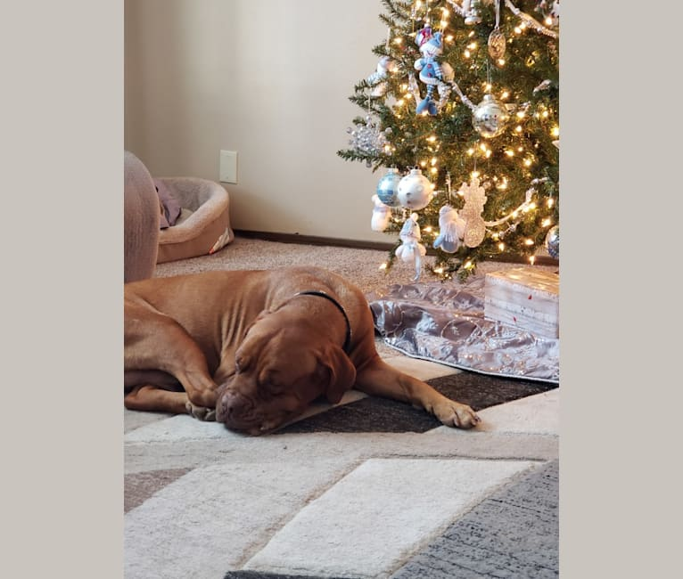 Photo of Arnie, a Dogue de Bordeaux  in West Bend, Wisconsin, USA