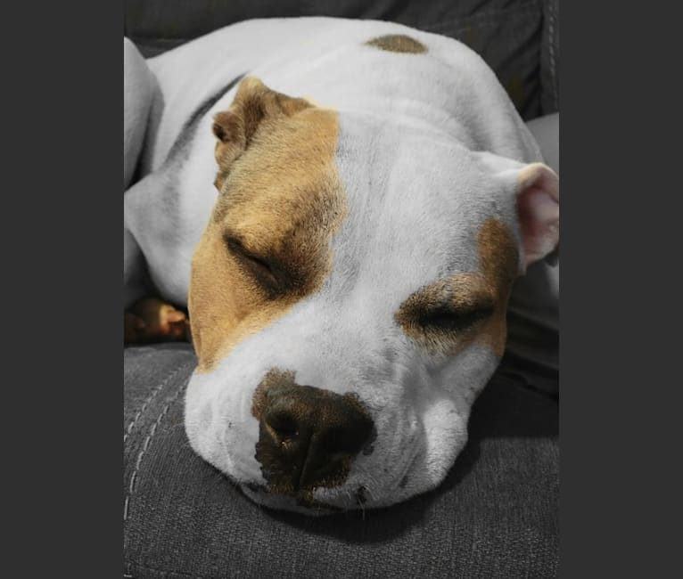 Photo of Caribou Lou (Lou), an American Pit Bull Terrier and American Staffordshire Terrier mix in South Carolina, USA
