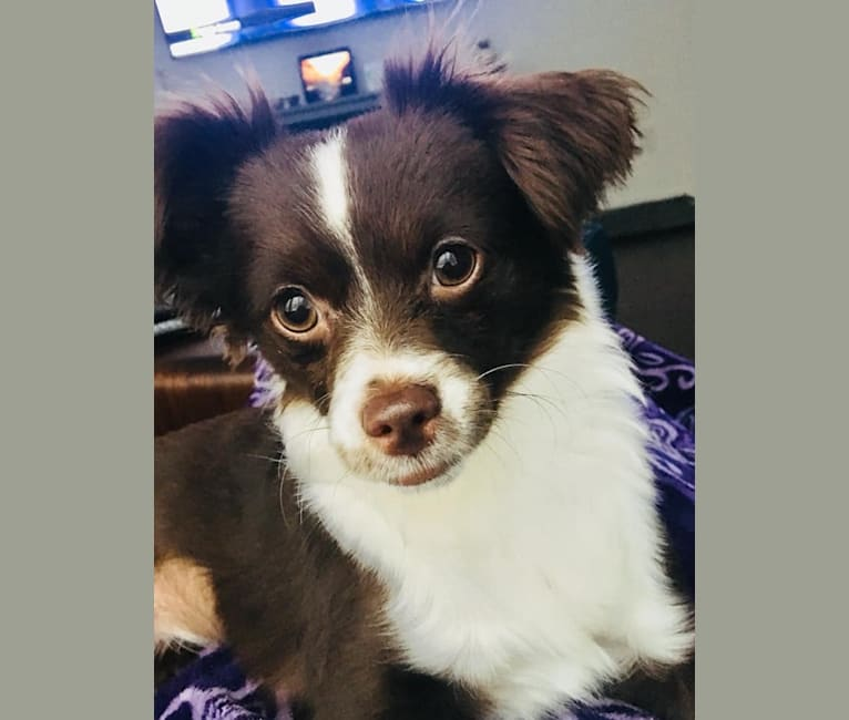 Photo of French Fry, a Chihuahua, Poodle (Small), and Mixed mix in Colorado, USA