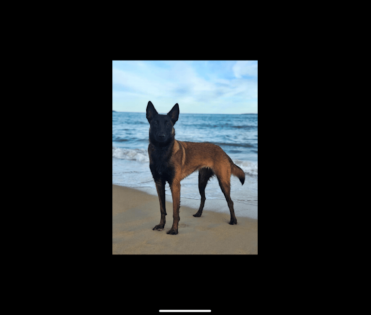 Photo of Caia, a Belgian Shepherd  in Plant City, FL, USA