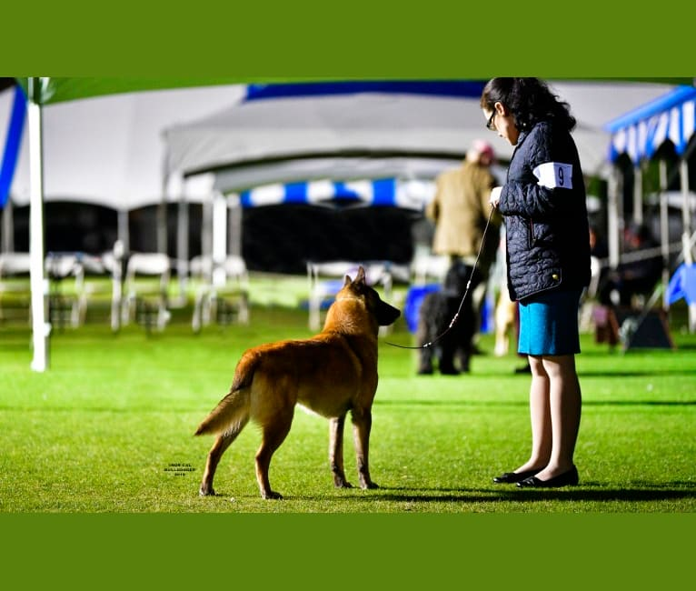 Photo of Ruger, a Belgian Shepherd  in USA