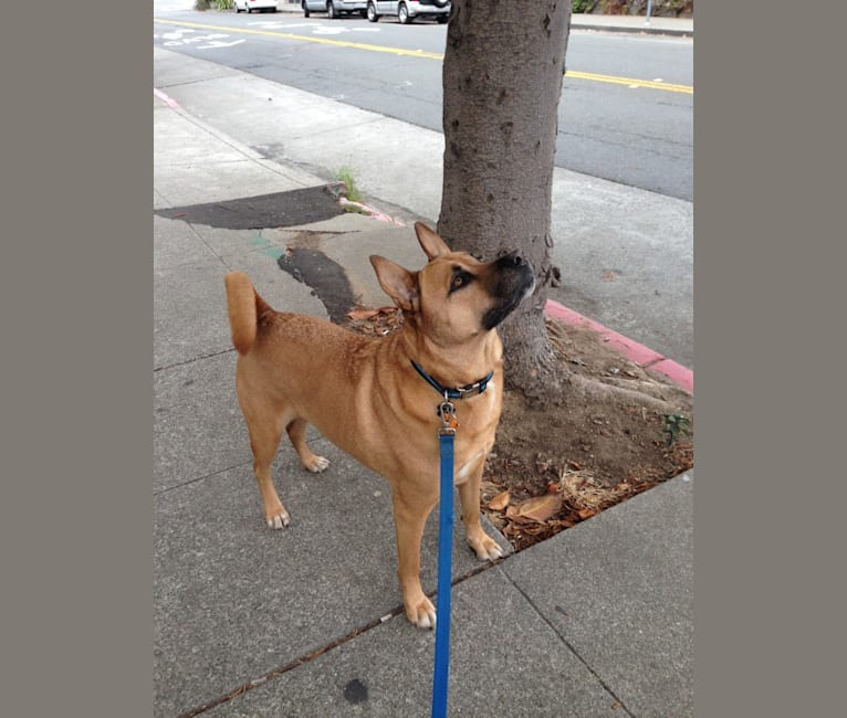 Photo of Fozzie, a Chow Chow, American Pit Bull Terrier, and German Shepherd Dog mix in Oakland, California, USA