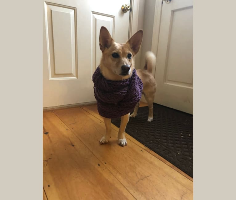 Photo of Melba, a Chow Chow, American Pit Bull Terrier, German Shepherd Dog, Australian Cattle Dog, and Mixed mix in Haverhill, Massachusetts, USA