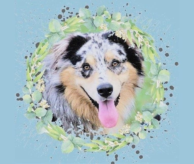 Photo of Dodge, an Australian Shepherd Group  in Readyville, Tennessee, USA