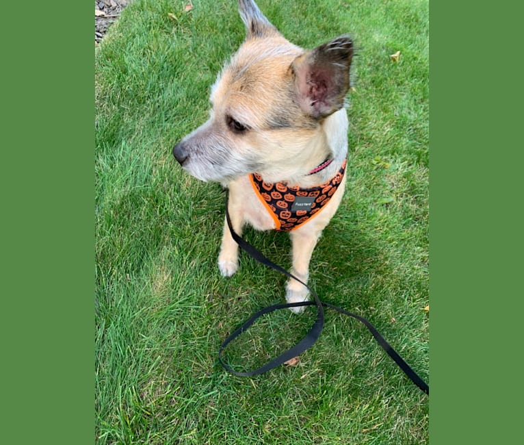Photo of Macey, an Australian Cattle Dog, Chihuahua, and Mixed mix in Chicago, Illinois, USA