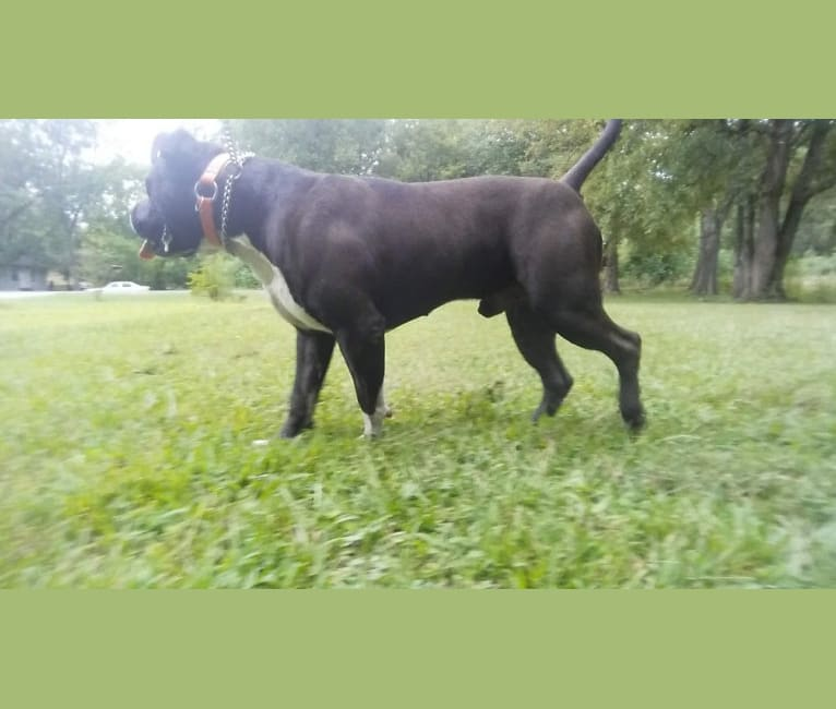 Photo of Hulk-E-Boy, an American Bully  in Arkansas, USA