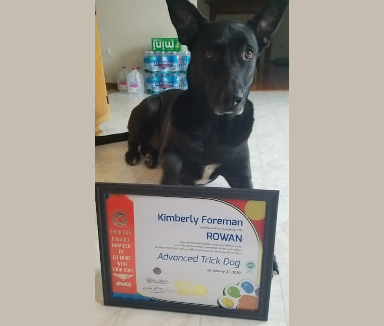 Photo of Rowan, a German Shepherd Dog and American Pit Bull Terrier mix in Romeoville, Illinois, USA