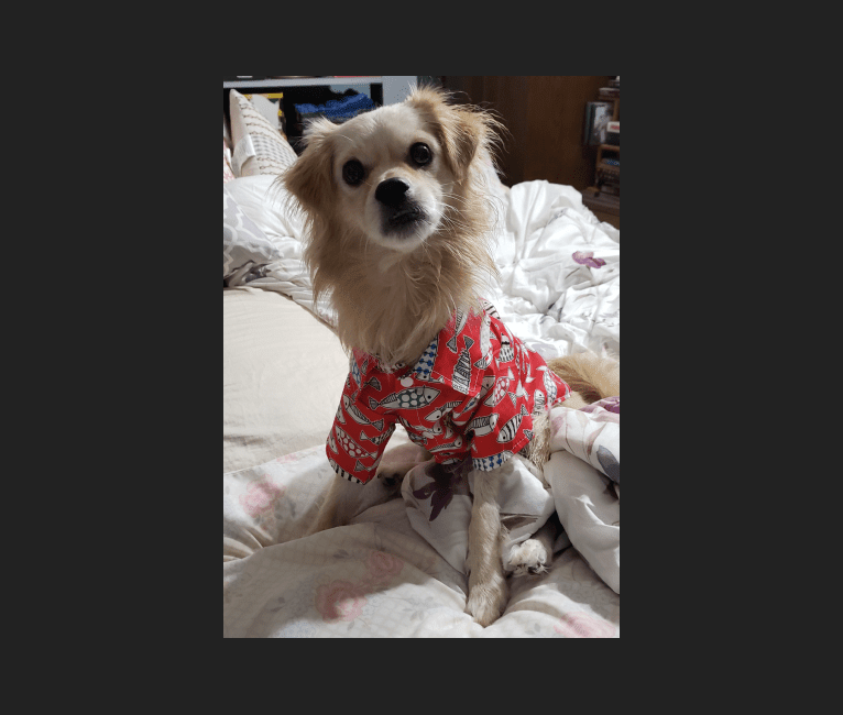 Photo of Arthur, a Poodle (Small), Shih Tzu, Pekingese, Cocker Spaniel, Pomeranian, and Mixed mix in null