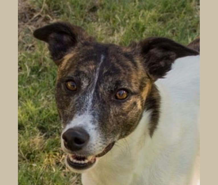 Photo of Grace, a Whippet, Border Collie, and Border Terrier mix in Pahrump, NV, USA