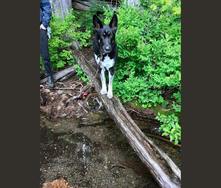 Photo of Pansy, a German Shepherd Dog and Great Pyrenees mix in Portland, Oregon, USA