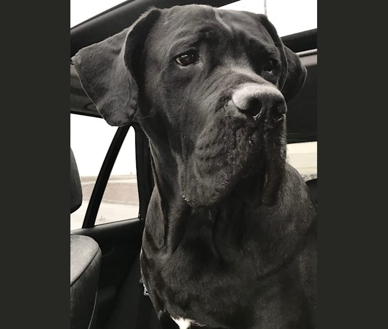 Photo of Cooper, a Cane Corso and Mastiff mix in Greenwich, Connecticut, USA