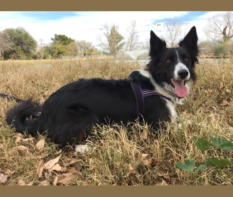 Photo of Riley, a Border Collie and German Shepherd Dog mix in Nevada, USA