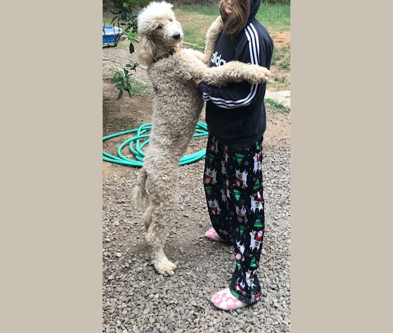 Photo of Shasta, a Poodle (Standard)  in Veneta, OR, USA