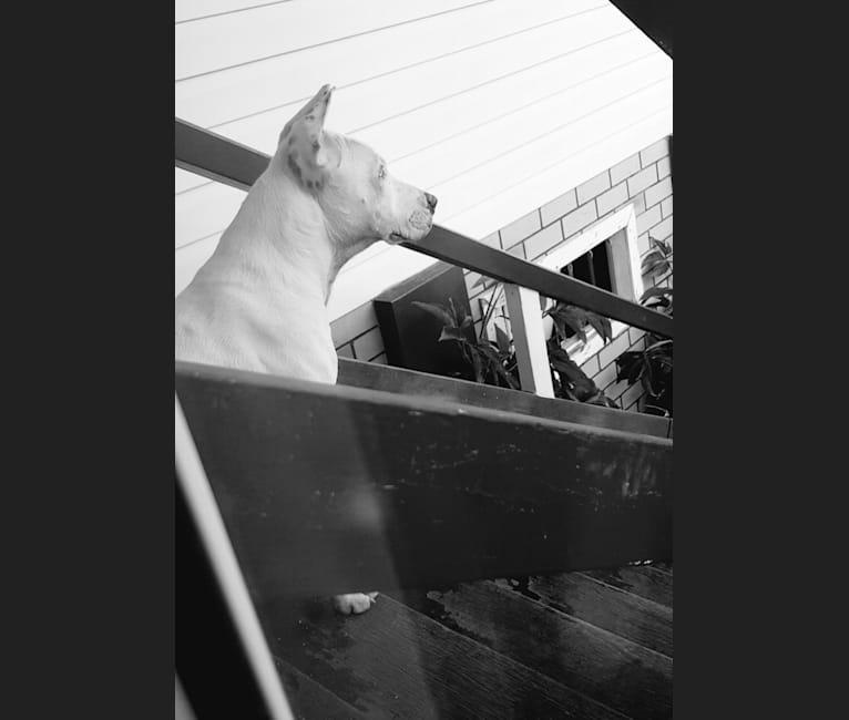 Photo of Zeus, an American Pit Bull Terrier, Australian Cattle Dog, Border Collie, and Boxer mix in Rockhampton, Queensland, Australia