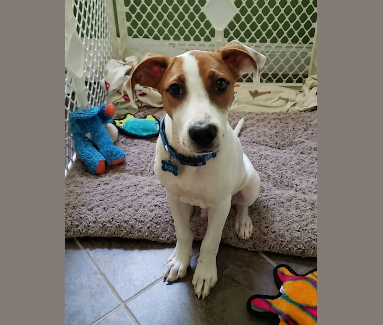 Photo of Kosi, an American Pit Bull Terrier, Boxer, Chow Chow, Bulldog, and Mixed mix in Darlington, SC, USA
