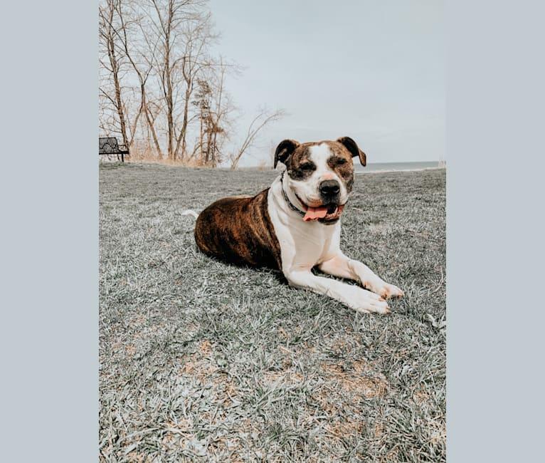Photo of Tank, an American Bulldog  in Milwaukee, Wisconsin, USA
