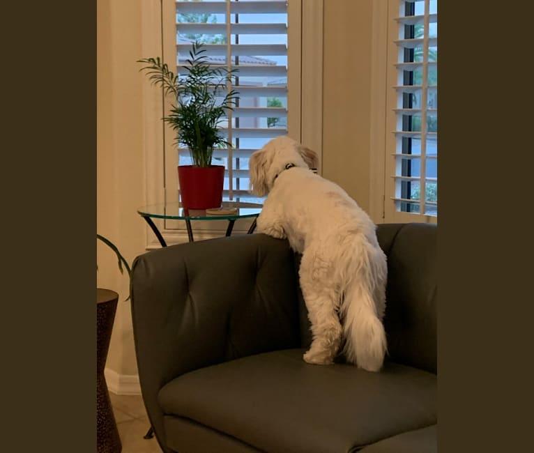 Photo of Tucker, a Poodle (Small), German Shepherd Dog, Cocker Spaniel, and Mixed mix in Phoenix, AZ, USA