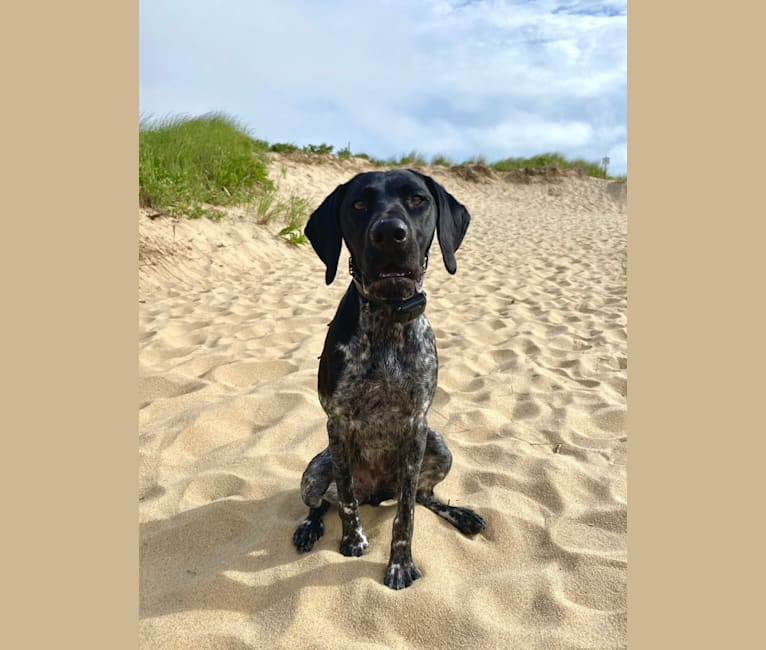 Photo of Quinn, a German Shorthaired Pointer  in Missouri, USA