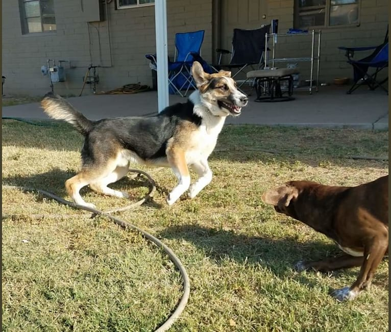 Photo of D'Brickashaw, a German Shepherd Dog, Siberian Husky, and Mixed mix in Arizona, USA