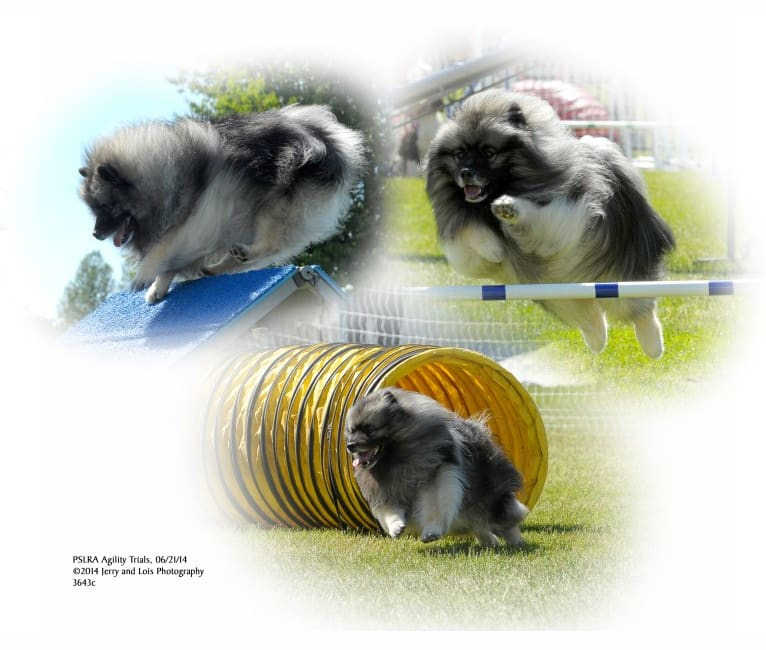 Photo of ARTIE, a Keeshond  in Gig Harbor, WA, USA
